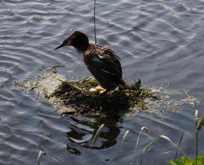 Fuut of nest 1