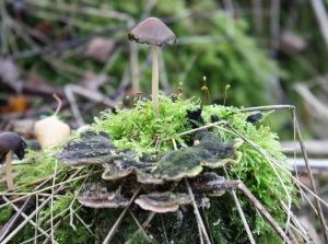 Steelpaddenstoel emt zwam