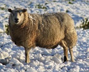 Schaap sneeuw 2014 dec