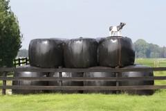 koe op gras