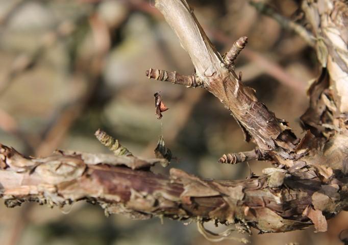 Klimhortensia (Small)