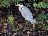 Reiger 1 (Small)
