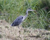 Reiger 5 (Small)