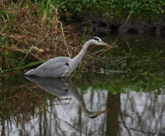 reiger in sloot (Small)