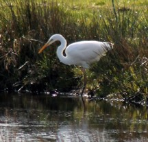 Reiger wit 2 (Small)