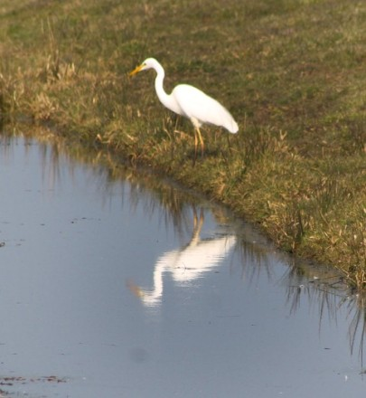 Reiger wit (Small)
