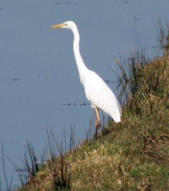 Witte reiger (Small)