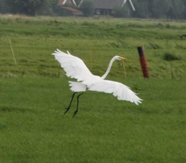 witte reiger vliegend (Small)