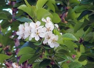 Kersenbloesem (Small)
