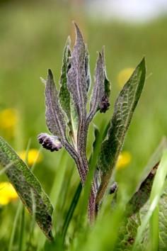 Smeerwortel2 (Small)