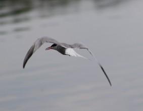 visdief vliegend (Small)