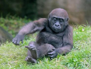 Gorilla 10 (Small)