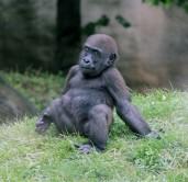 Gorilla 12 (Small)
