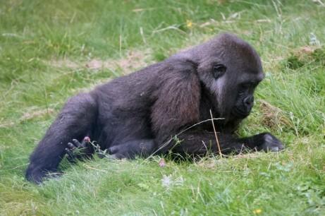 Gorilla 14 (Small)