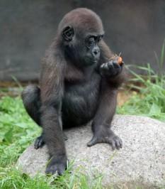 Gorilla 5 (Small)
