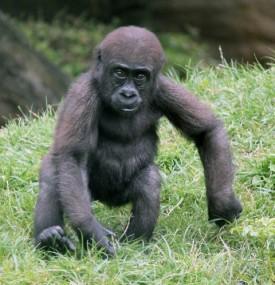 Gorilla 6 (Small)