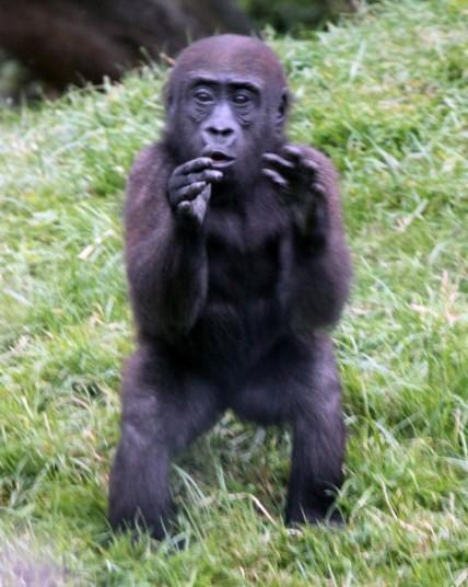 Gorilla 7 (Small)