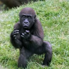 Gorilla 8 (Small)