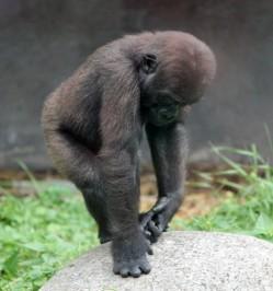 Gorilla 9 (Small)