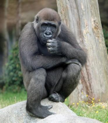 Gorilla man 2 (Small)