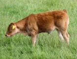 Koeien Haastrecht3 (Small)
