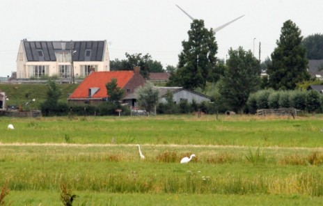 Witte reigers (Small)