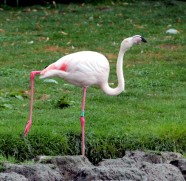 Flamingo 2 (Small)