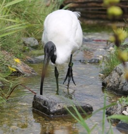 Ibis wit 3 (Small)