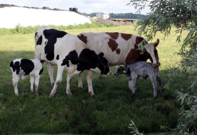 Koeien met jongen (Small)