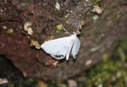 Kroosvlinder 1 (Small)
