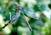 Libelle 2 - kopie (2) (Small)
