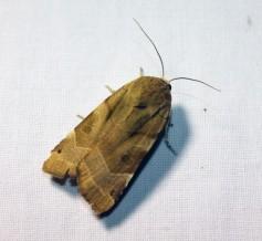 Nachtvlinder 10 (Small)