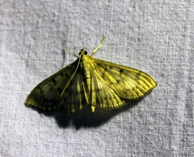 Nachtvlinder 13 (Small)