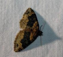 Nachtvlinder 2 (Small)