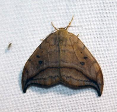 Nachtvlinder 9 (Small)