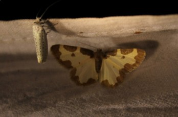 nachtvlinder (Small)