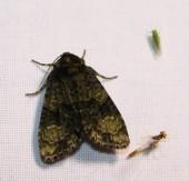 Nachtvlinder7 (Small)