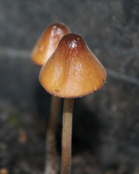 Paddenstoeltjes (Small)