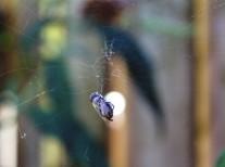 Spinnen prooi (Small)
