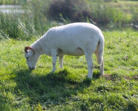 schaap-2-small