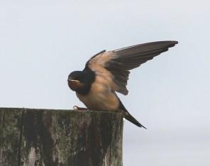 Zwaluw 4 (Small)