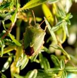 groene-schildwants-of-stinkwants-3-small