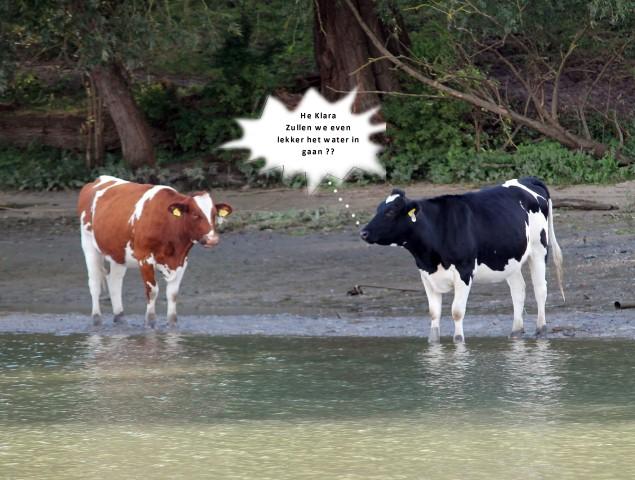 koeien-a-small