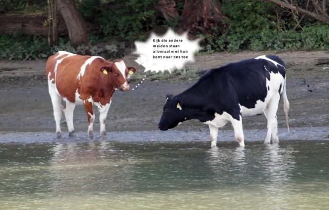 koeien-c-small