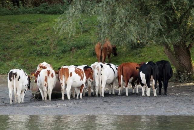 koeien-d-small