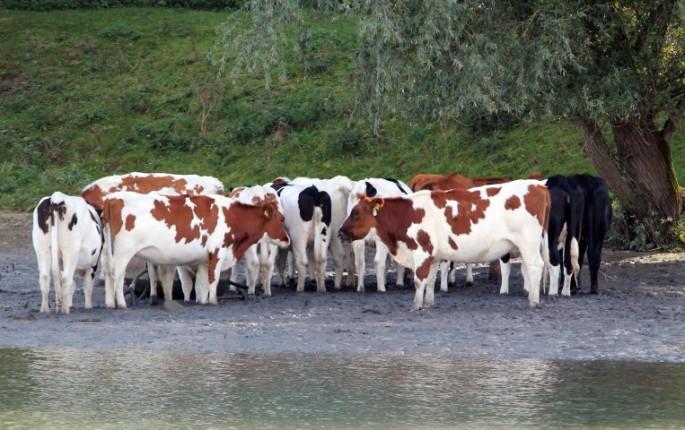 koeien-ef-small