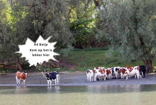 koeien-f-small