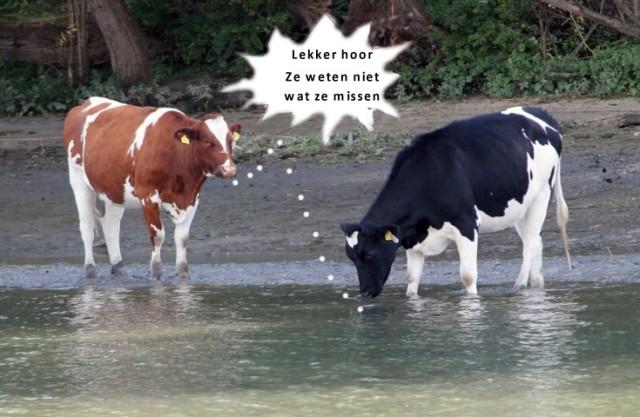 koeien-i-small