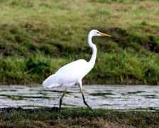 witte-reiger-2-small