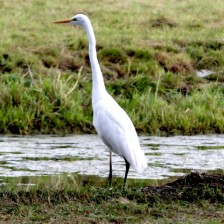 witte-reiger-3-small